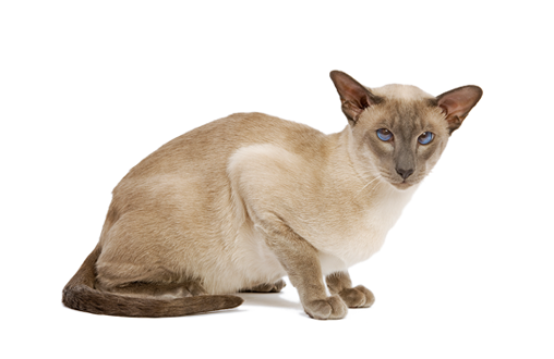 Imagen promoción ¡Descuento en producto para gatos Siamese! p2