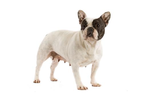 Curiosidades sobre el Bulldog Francés-2