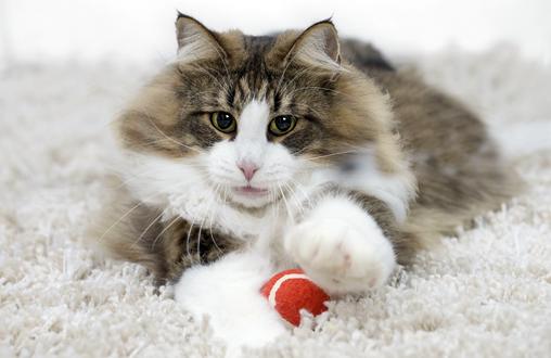 Cómo fomentar el ejercicio en los gatos de interior